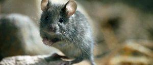 eliminar ratones badalona