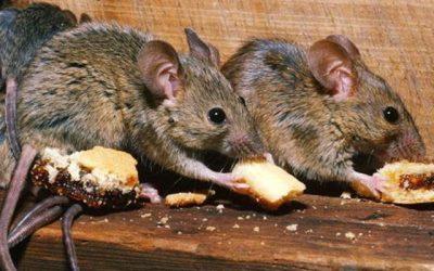 ¿Como dañan los roedores mi hogar? ¿Y mi negocio?
