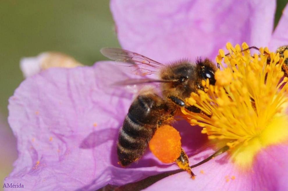 Resultado de imagen de polen abejas