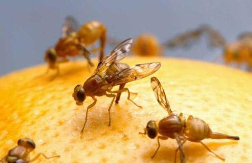 Resultado de imagen de mosca fruta