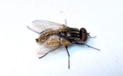 Diferencias entre moscas domesticas y moscas de la fruta