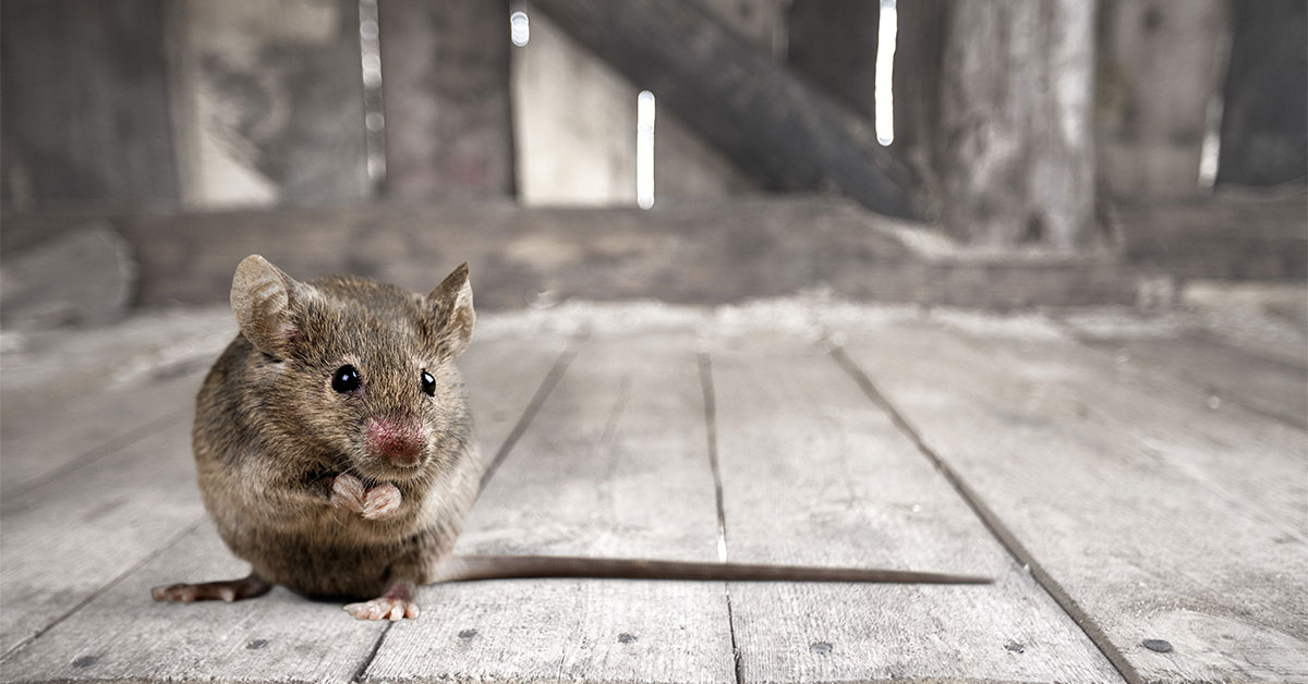 When Is The Best Time To Treat For Mice? | New Leaf Pest Control