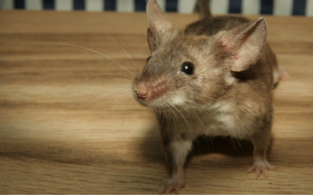 6 Signs That You Could Have Mice - Rice's Termite & Pest Control