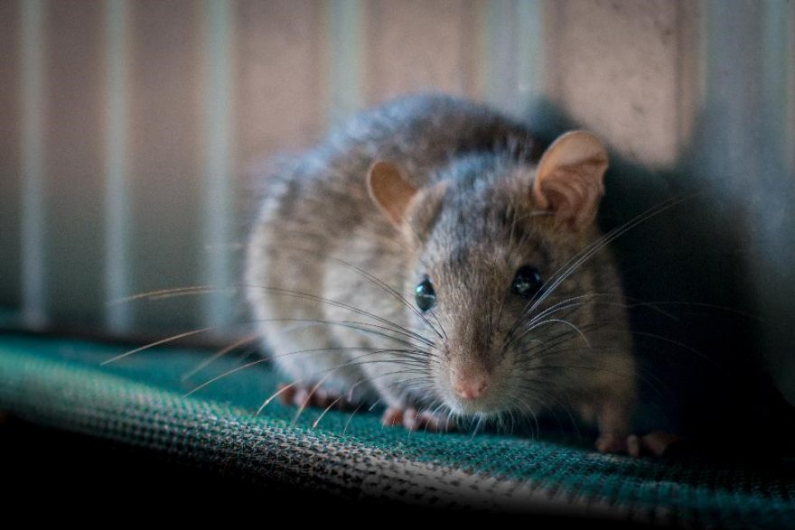 The Warm Weather Rat Infestation You Didn't Expect   Advanced IPM