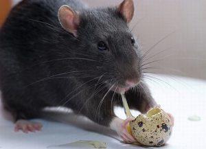 eliminar ratas badalona