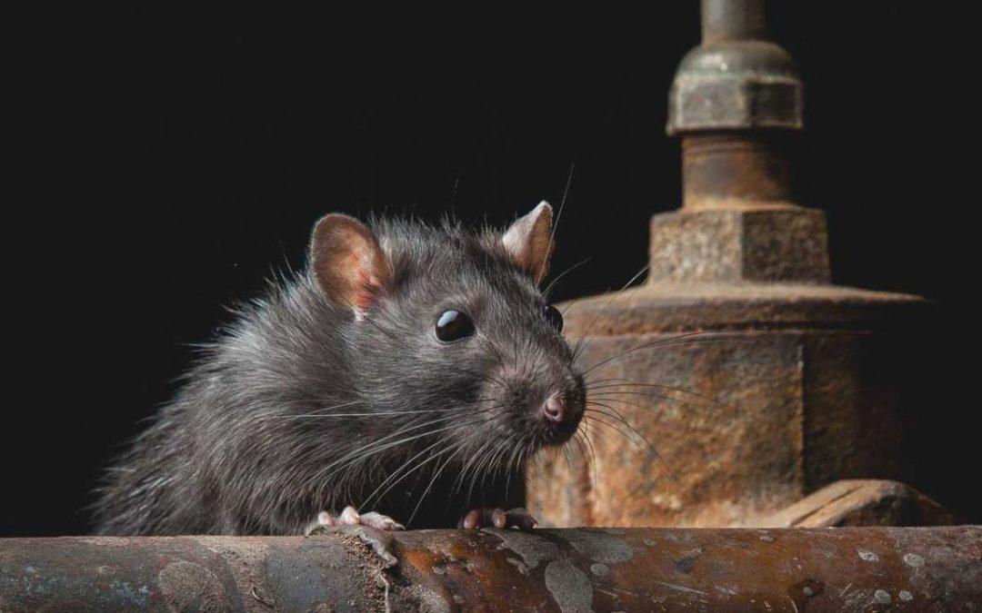 Ratas: La plaga más destructiva del mundo