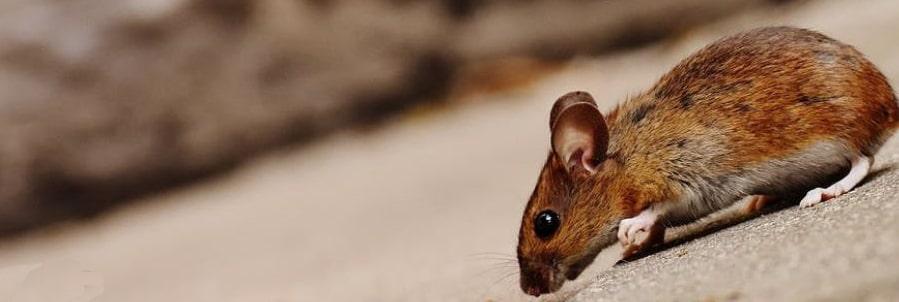 Expertos en el Control de Plaga de Ratones 🐁 | Best Control